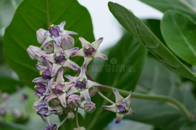 Beautiful Milkweed, Gigantic Swallowwort royalty free stock photo