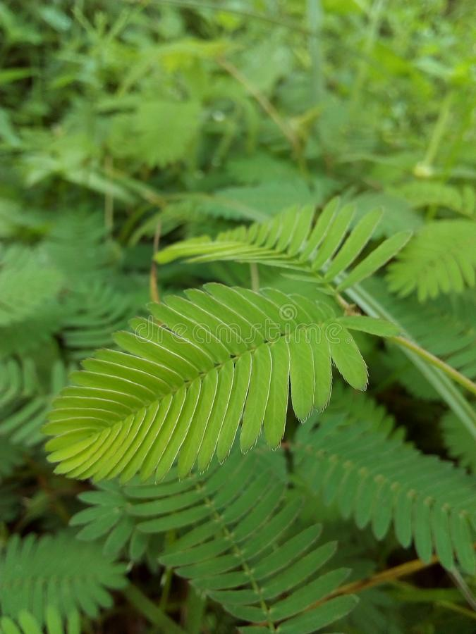 Beautiful mimosa. A close image to a mimosa branch, All-focus real image stock photo