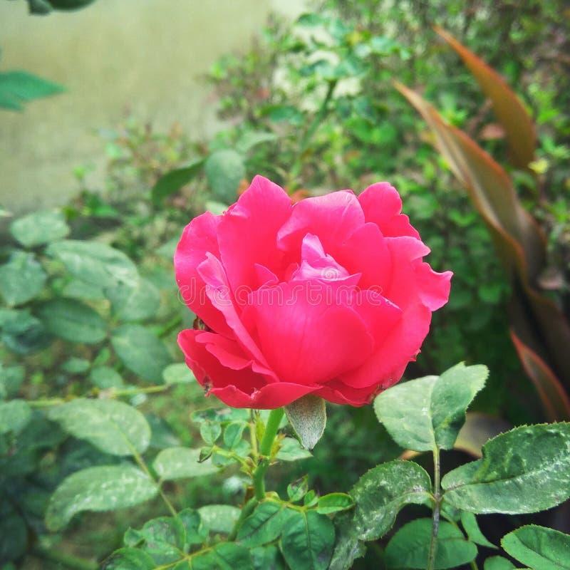 A Beautiful Rose stock photos