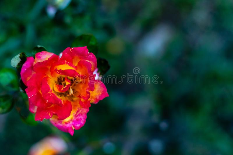 Beautiful mix color rose on blurred green background. beauty concept royalty free stock photography