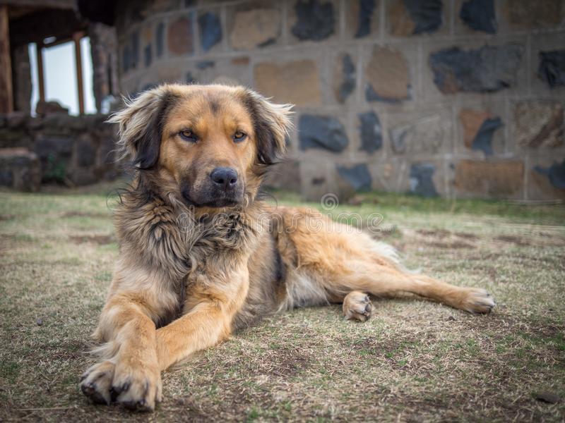 Beautiful mixed race dog laying on grass in front of stone building in mountains of Lesotho, Southern Africa stock photo