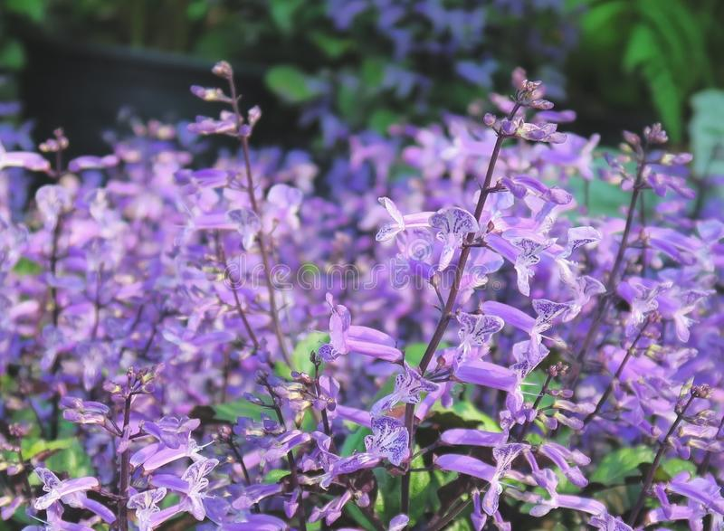 Beautiful Mona Lavender flowers in the garden royalty free stock image