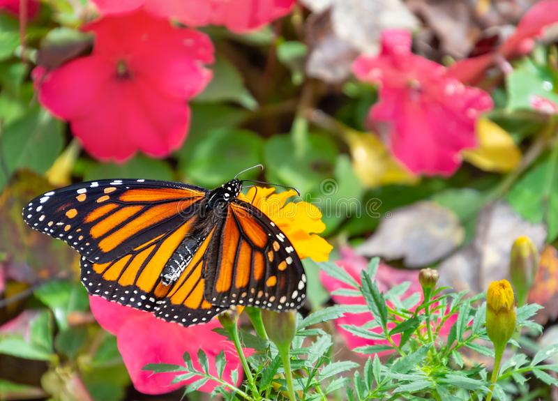 Beautiful monarch butterfly amid flowers. Orange and black female monarch butterfly on yellow marigold flower amid pink flowers with its wings spread stock image