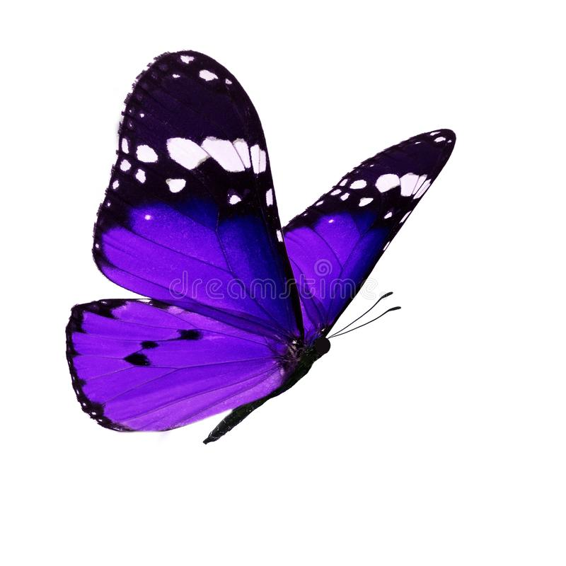 Beautiful monarch butterfly. Beautiful purple monarch butterfly isolated on white background stock photo