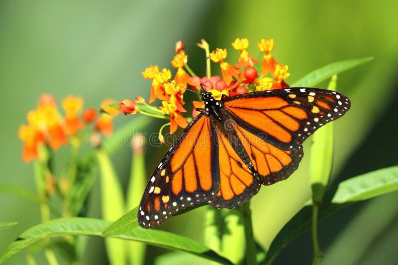 Beautiful Monarch Butterfly. (Danaus plexippus) native to North America, photographed in Arizona stock image