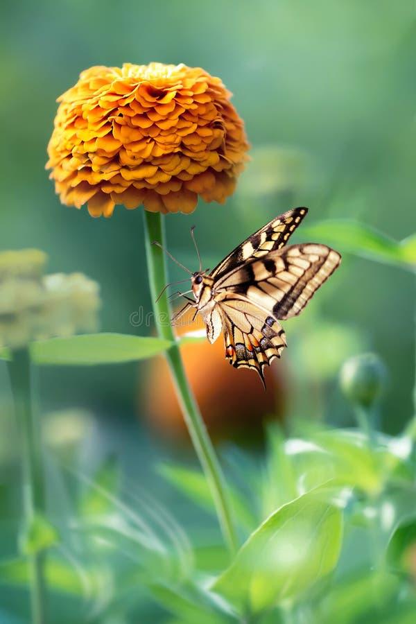 Beautiful monarch butterfly and orange flower. Summer spring image. Beautiful monarch butterfly and orange flower. Summer spring image stock image