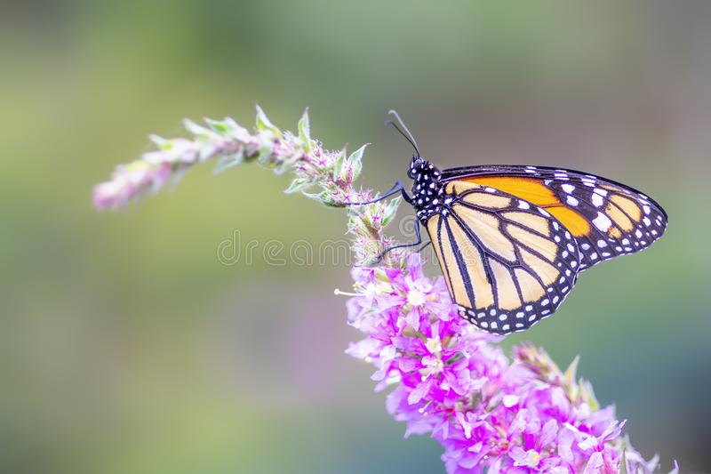 A beautiful monarch butterfly or simply monarch Danaus plexippus feeding on purple / pink flowers in a Summer garden. Blurry gre. En background. Precious Orange royalty free stock photos