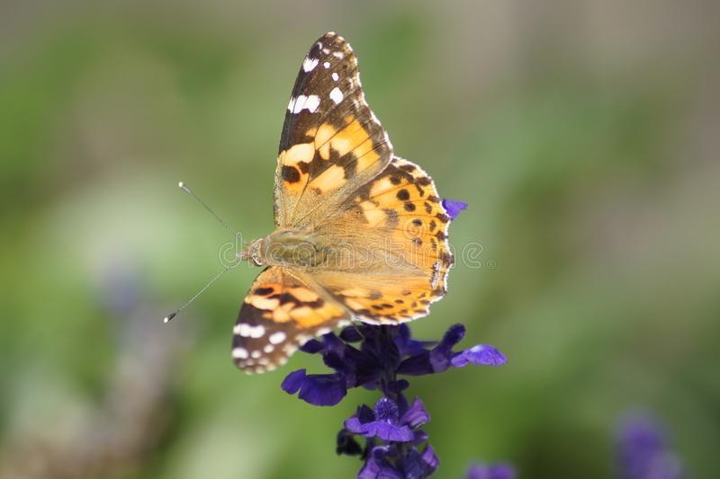 Monarch butterfly spreading his wings on a purple salvia. royalty free stock images