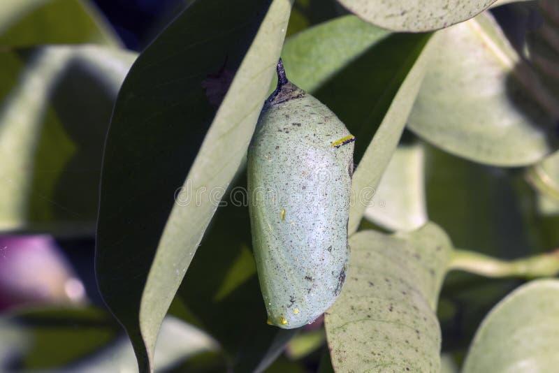 A beautiful Monarch chrysalis Danaus plexippus stock photography