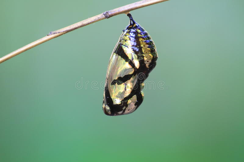 Beautiful Monarch chrysalis hanging on branch. Beautiful Monarch chrysalis (Danaus plexippus) hanging on branch stock photography