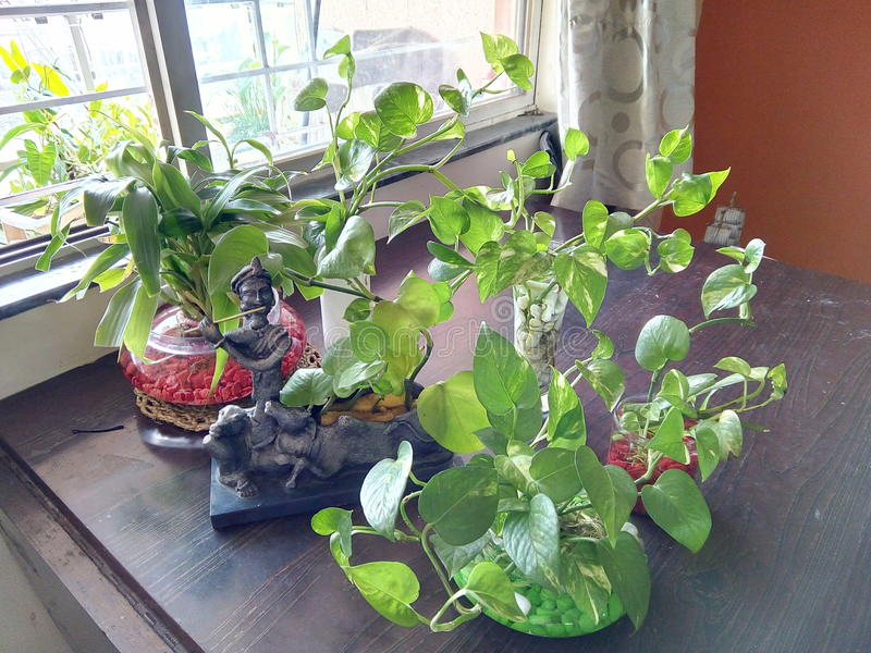 Beautiful Money plant, arrangements. stock photos