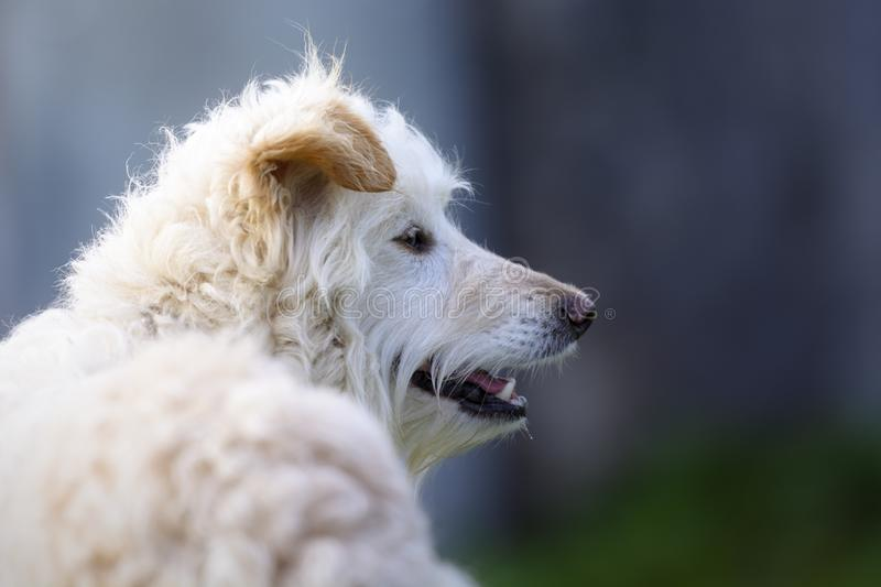 Portrait of a white mongrel dog with brown ears. Beautiful mongrel dog with white curly hair, brown ears and a lovely looking stock image