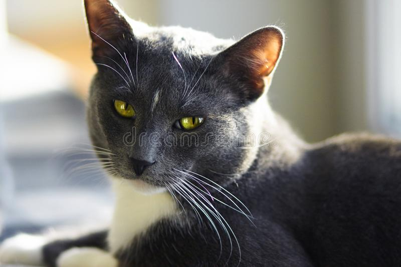 Beautiful mongrel gray cat with green eyes. And a white spot on his forehead lies on the surface, illuminated by the sun and squints royalty free stock images