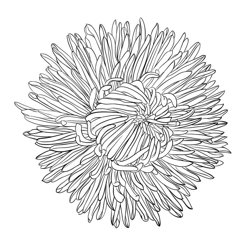 Free Beautiful Monochrome, Black And White Aster Flower . Royalty Free Stock Photo - 65235445