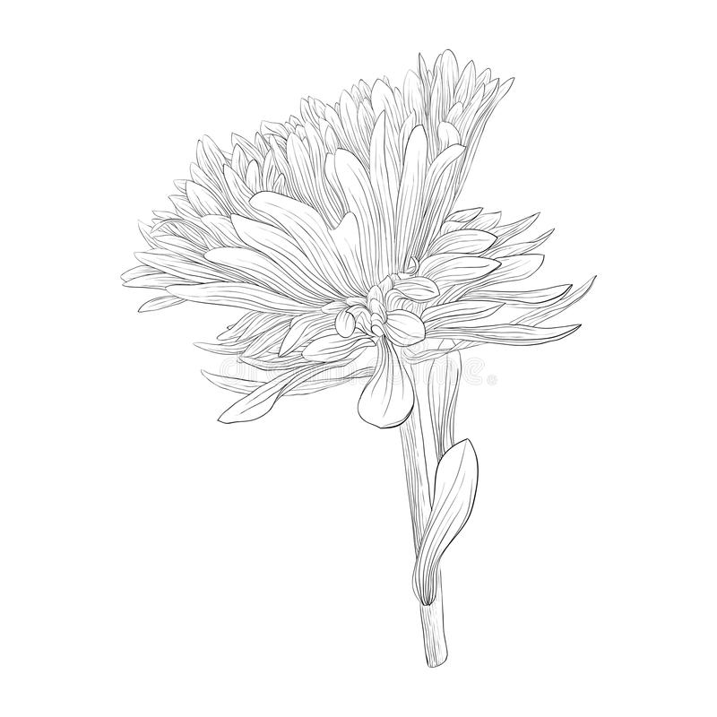 Aster Flower Line Drawing : Beautiful monochrome black and white aster flower