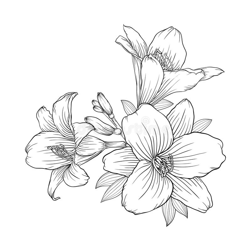Line Art Lily : Beautiful monochrome black and white bouquet lily isolated