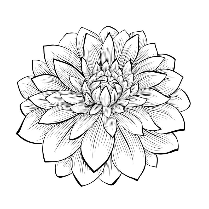 Beautiful monochrome black and white dahlia flower isolated on white background. Hand-drawn contour lines and strokes stock illustration