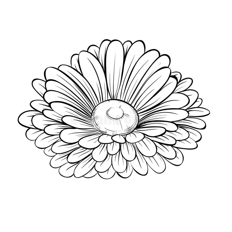 Black Flower On White Background Royalty Free Stock: Beautiful Monochrome Black And White Daisy Flower Isolated