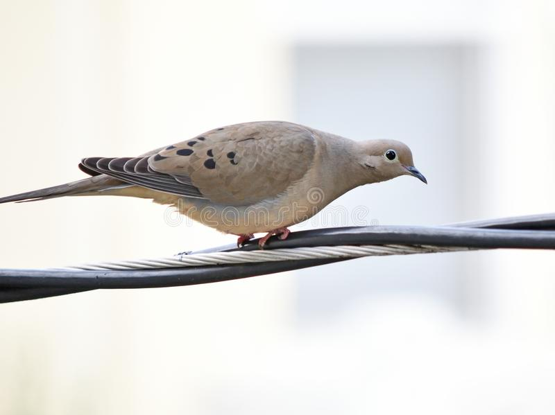 A beautiful morning dove searching for lunch royalty free stock images
