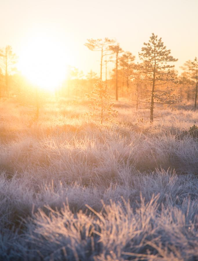 Beautiful morning landscape with a rising sun. Colorful scenery of a frozen wetlands in autumn. First frost in nature. Bright sun shine with flares stock image