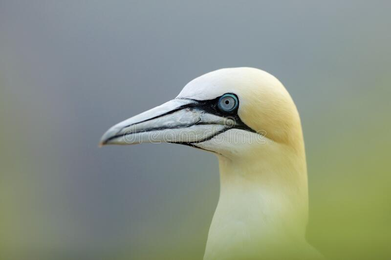Northern gannet, detail portrait of sea bird sitting on the nest, with blue sea water in the background, Helgoland island, Germany royalty free stock photos