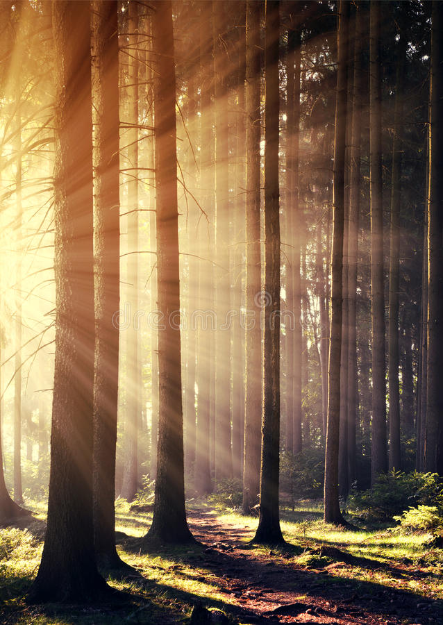 Forest with sun rays. royalty free stock photos
