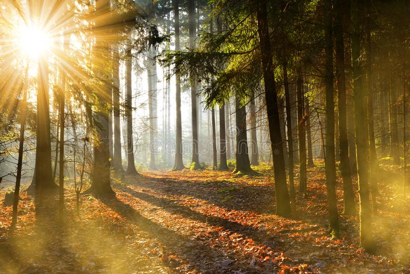 Beautiful morning scene in the forest with sun rays. Autumn landscape royalty free stock image
