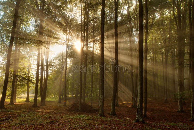 Beautiful morning scene in the forest with sun rays and fog stock photo