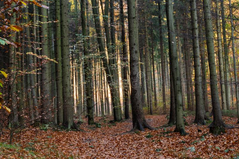 Beautiful morning scene in the forest with sun rays and long shadows stock images