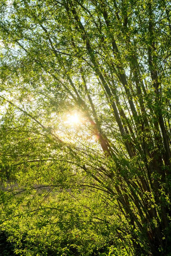 Beautiful morning sun going trough the forest. Beautiful morning sun rays going trough the forest, with the light breaking through the tree branches, creating stock photo