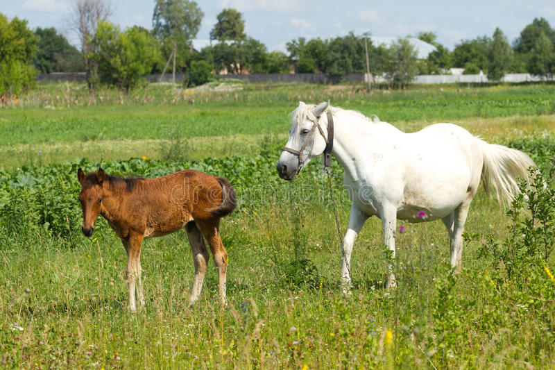 Beautiful Mother And Baby Horse Stock Photo
