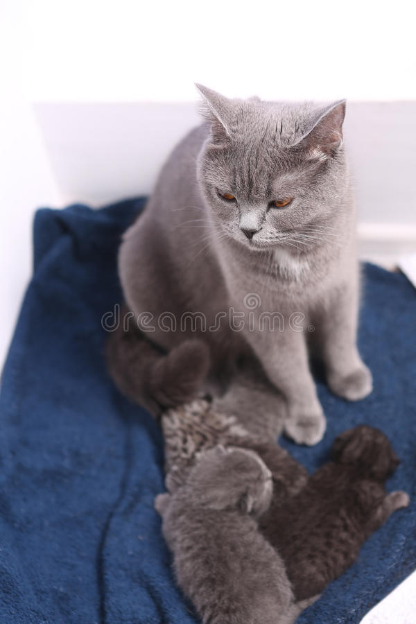 Beautiful mother cat with babies. Mother cat with her British Shorthair baby, newly born first day of life stock images