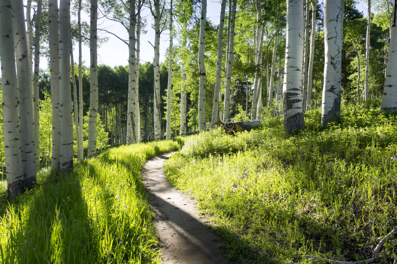 Beautiful Mountain Hiking Trail Through Aspen Trees of Vail Colorado stock photo
