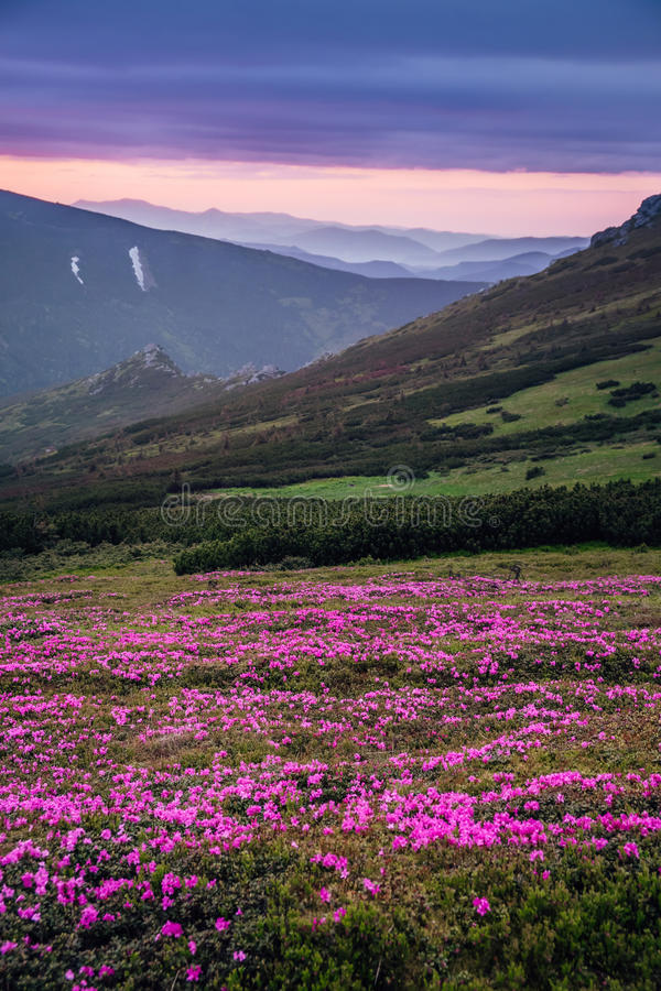 Beautiful mountain landscape with blossoming pink meadows of rho royalty free stock photos