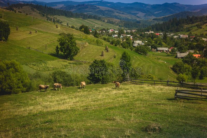 Beautiful mountain landscape with cows on a background of the village. Carpathian mountains of Ukraine. Holidays in the mountains royalty free stock photo