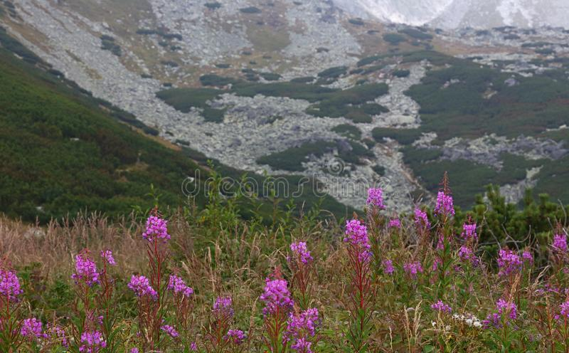 Beautiful mountain landscape with fireweed royalty free stock images