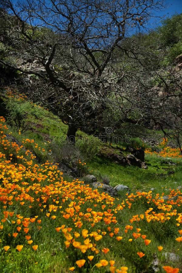 Beautiful mountain landscape with flowers. Blooming narcissus in Tenerife. Teide National Park.  royalty free stock photo