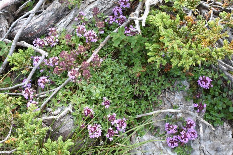 The beautiful mountain wild thyme growing from the rock royalty free stock photos