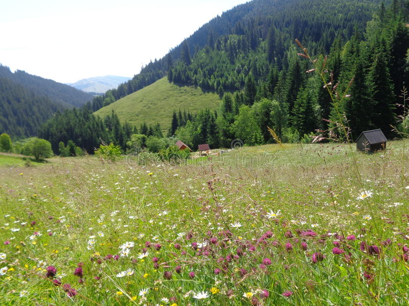 Mountain hay meadows in the Gyimes region Transylvania royalty free stock photo