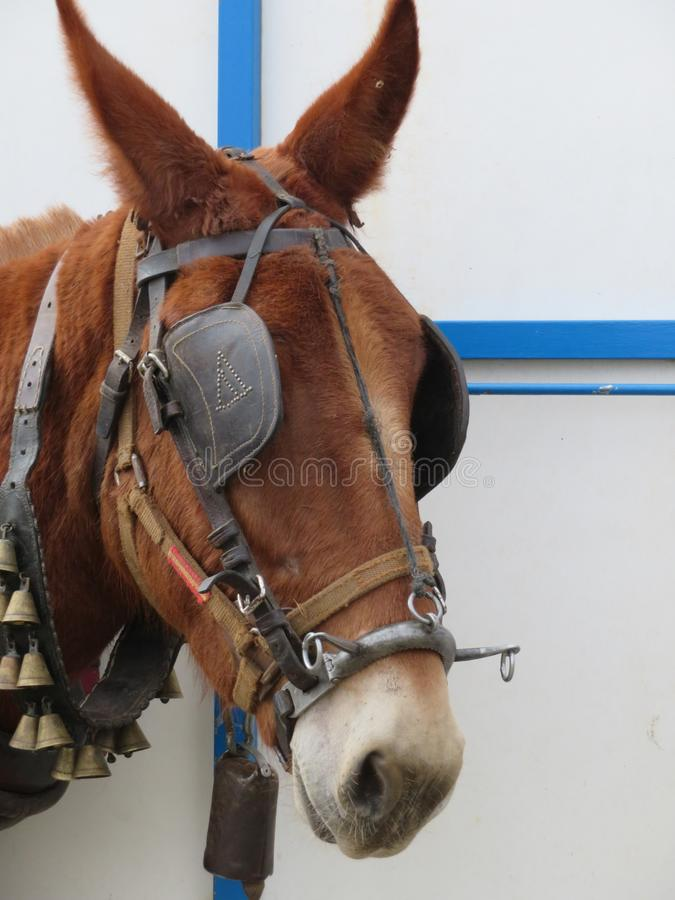 Beautiful mule ready for work by pulling the cart royalty free stock photography