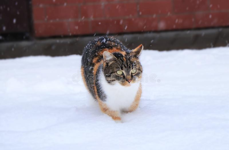 A beautiful multi colored cat is walking on garden covered snow. She has very tough expresion. Snowflakes falling down stock images