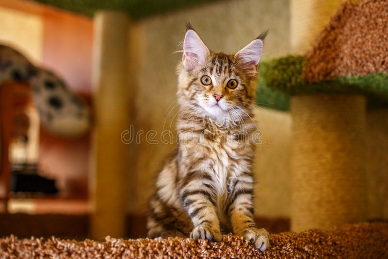 Beautiful multi-colored home cat sitting, Pets breed Maine Coon stock images