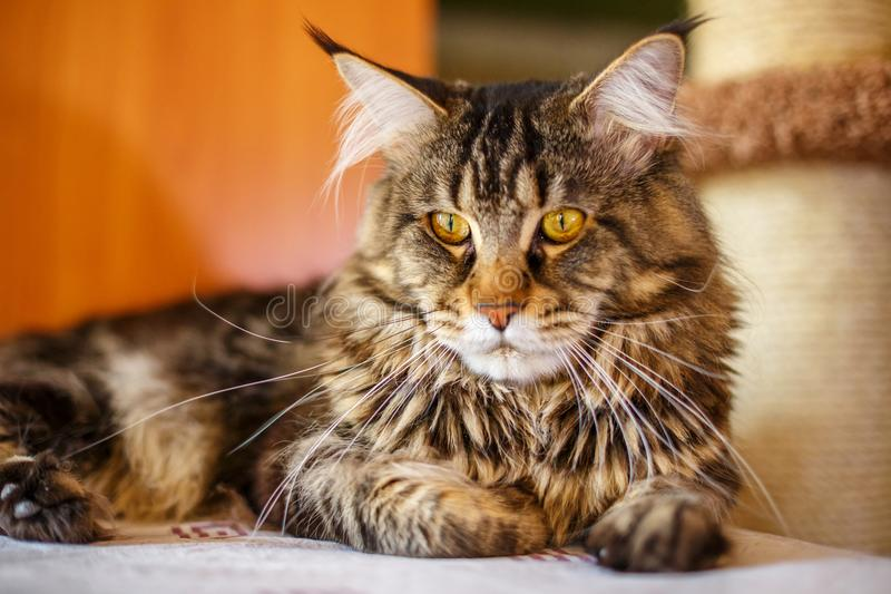 Beautiful multi-colored home cat sitting, Pets breed Maine Coon stock photos