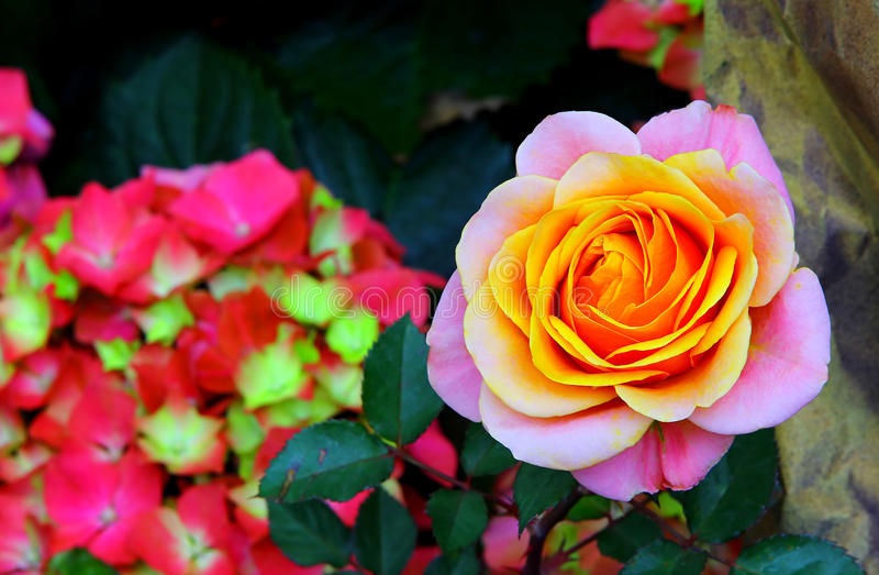 Beautiful multi colored rose background royalty free stock image