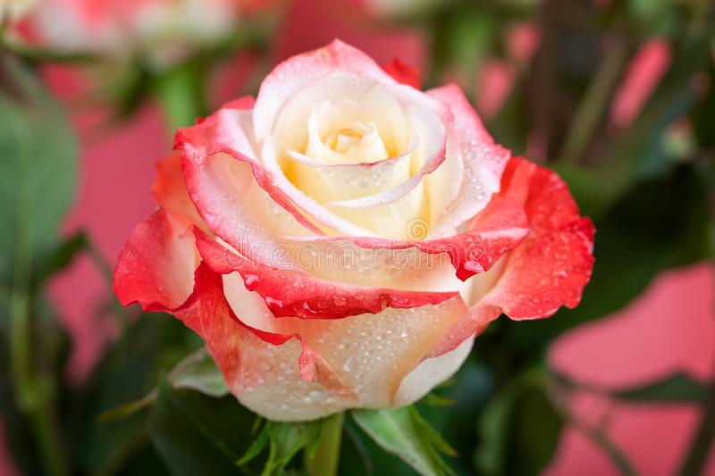 Beautiful multi-colored rose with dew drops close-up. For greeting cards. stock images