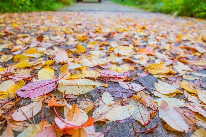 Beautiful multicolor autumn leaves as background. Fall season.Colorful leaves with rain drops on dark wet asphalt stock photo