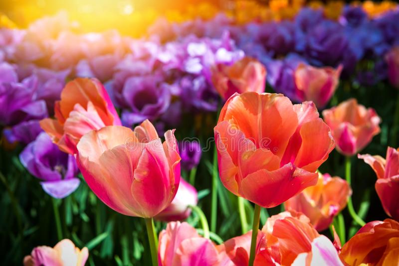 Beautiful multicolor tulips, close up royalty free stock images