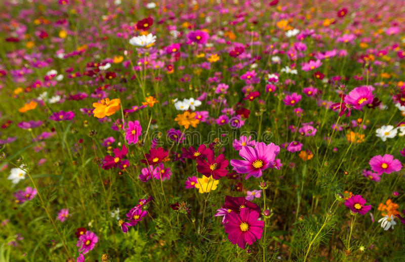 Beautiful multicolored flowers field, romantic flower background and wallpaper, royalty free stock photography