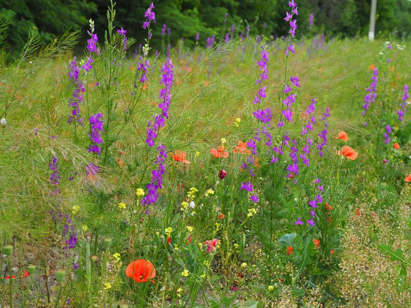 Beautiful multicolored summer meadow with red poppies and purple and yellow meadow flowers stock photos