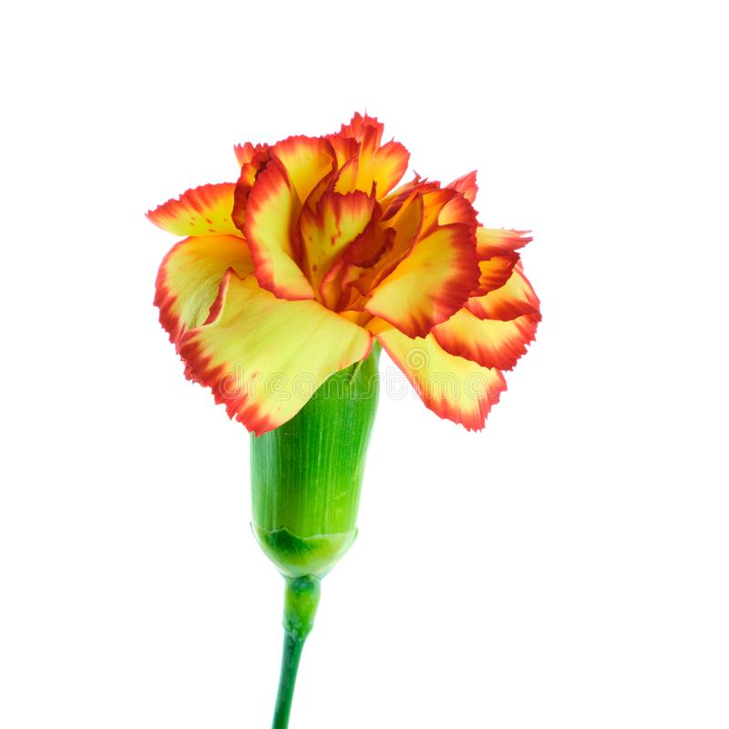 Multicolored carnation on white background royalty free stock images